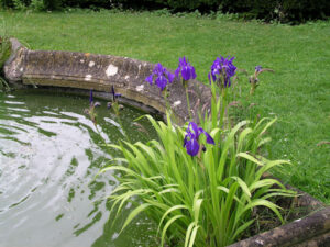 Pond with iris plants